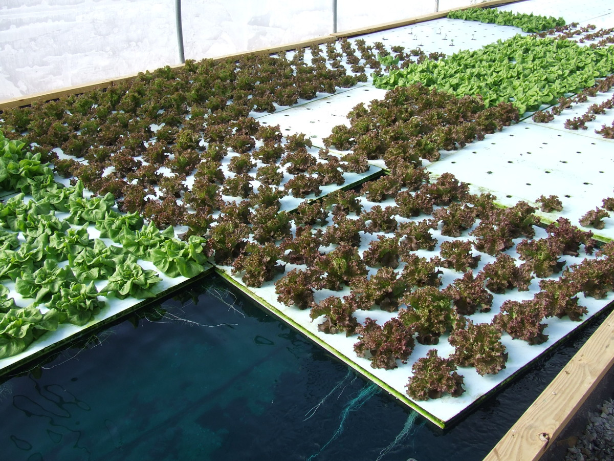 Floating Rafts Of Lettuce In Deep Water Culture